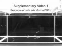 Male Zebrafish Response to PFG-2-alpha