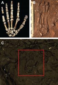 Homo naledi hand scan<em>Homo naledi</em> Hand Scan