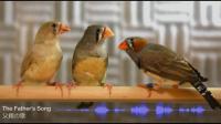 Development of the Juvenile Zebra Finch Song