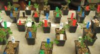 Pea Plant Experiments