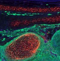 Repurposing Neural Crest Cells (3 of 6)