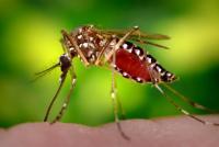 Aedes Agypti Mosquito Feeding