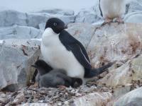 Adelie Penguins at Risk