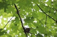 Migrating Songbird