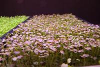How Sole-source LEDs Impact Growth of <em>Brassica</em> Microgreens