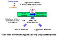 Social Behavior of Male Mice Needs Estrogen Receptor Activation in Brain Region at Puberty