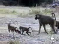 Amboseli Baboons