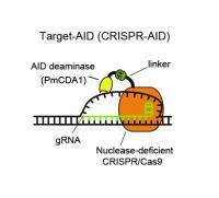Molecular Mechanism of Target-AID