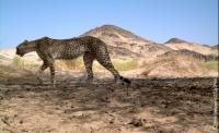 Saharan Cheetah (1 of 2)