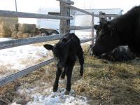 Newborn Calf in Glasgow, Mont. (2 of 3)