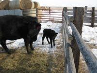 Newborn Calf in Glasgow, Mont. (3 of 3)