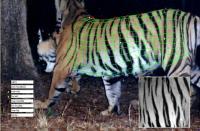 3-D Tiger