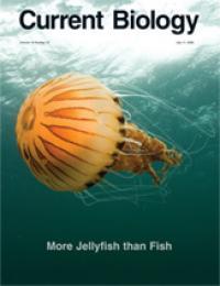 Sea Nettle, Chrysaora Hysoscella