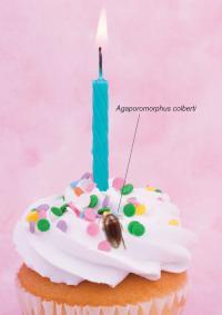 <i>Agaporomorphus colberti</i> on Birthday Cupcake