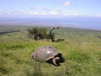 Giant Tortoise (Hilltop)