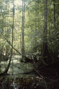 Dilcher's Swamp