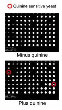 Quinine Screen
