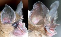 Bat Noses