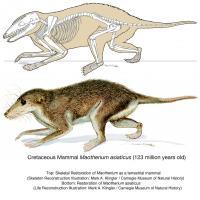 Maotherium asiaticus Reconstructions