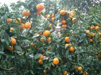 Mandarin Oranges: A Healthful Harvest