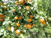'Pixie' Mandarin