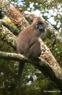 African Monkey <i>Rungwecebus kipunji</i>
