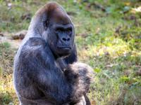 Ozzie, Zoo Atlanta Gorilla