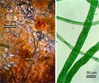 Rope-building Cyanobacteria