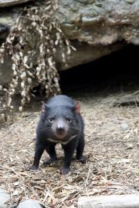 Tasmanian Devil, Healesville Sanctuary, Melbourne, Australia