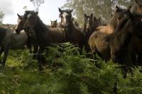 Northern Iberian Horses