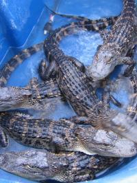 Alligators at the University of Utah