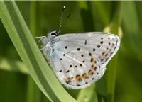 Anna Blue, <i>Lycaeides idas</i>