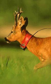 Roe Deer (<i>Capreolus capreolus</i>)