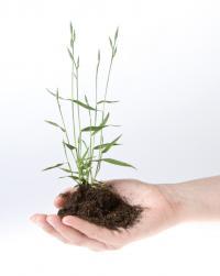 <i>Brachypodium</i> Plant
