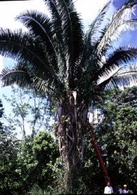 Attalea butyracea