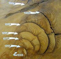 Giant Sequoia Cross-Section