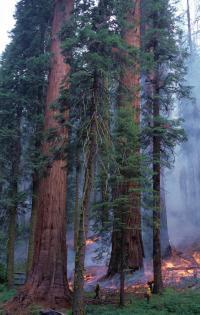Prescribed Burn in Giant Sequoia Forest