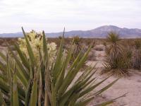 Yucca Colorado Desert