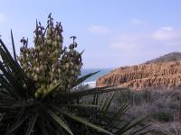 Yucca Torrey Pines