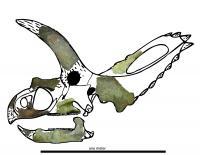 <i>Coahuilaceratops magnacuerna</i>