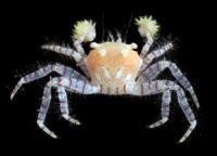 Hawaiian Pom-Pom Crab