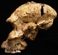 <i>Paranthropus robustus</i> Skull