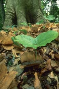 <i>Cavanillesia plantanifolia</i> Seedling
