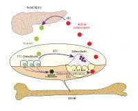 Breakdown of Bone Keeps Blood Sugar in Check