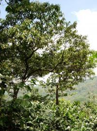 <I>Miconia affinis</I> Tree