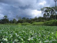 Soybean Field in Mato Grosso, Brazil