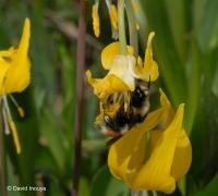 Glacier Lily Pollination