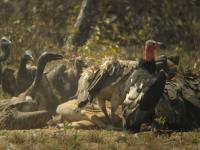 Vultures of Cambodia