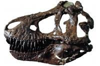 Adult <i>Tyrannosaurus</i>