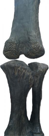 Dinosaur Bones Show Evidence of Cartilage